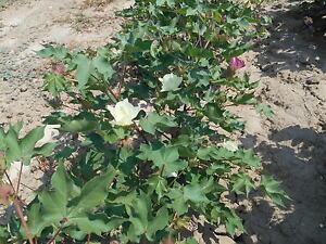 1kg-Samen-Echte-Baumwolle-034-Gossypium-herbaceum-034-Topfpflanze