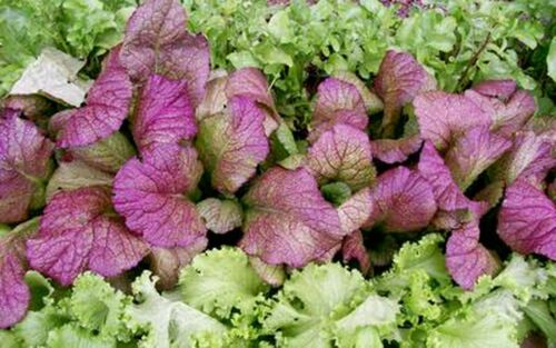 Asian Indian Red mustard seeds 1000