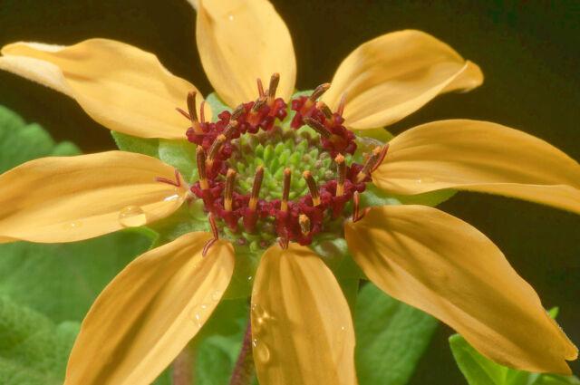 Berlandiera lyrata - CHOCOLATE SCENTED DAISY Seeds - Absolutely Lღvely - Zone 4