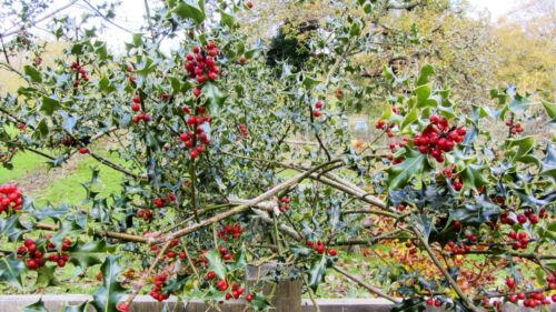 haie Ilex aquafolium 15 graines Holly arbre Bush