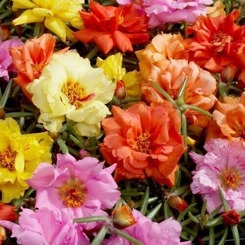 Portulaca Moss Rose Mix Ground Cover Seeds Portulaca Grandiflora 200+Seeds