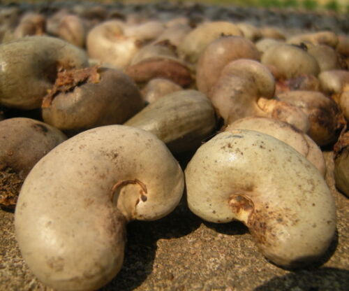 Anacardium Occidentale Tropical Plant Tree Seeds 60 pcs Cashew Nut Seeds