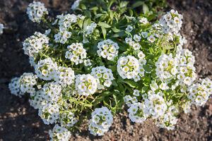 DUFTSTEINRICH-exotische-Pflanzen-Samen-Garten-Saemereien-Balkon-Terrasse