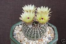 Notocactus veenianus parodia rare cactus cacti 20 SEEDS