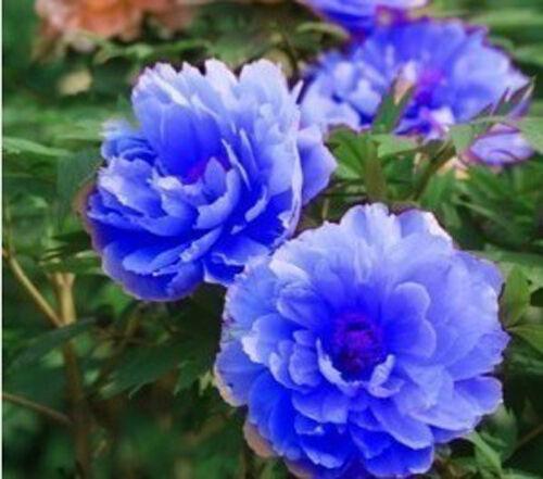 20 Colorful Peony Seeds Peony Seed Paeonia suffruticosa Garden Flowers