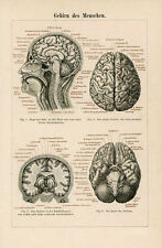 Framed Print - Antique 1894 German Anatomy Picture Human Brain (Medical Art)