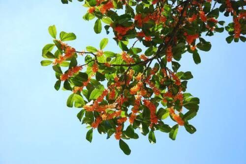 1 Moscata Albero Semi Myristica Fragrans Pala Mace Frutta Dado Pumpkin Pie Spice