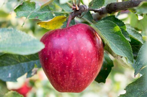 30Pcs Apple Fruit Tree Seeds Mixed Perennial Plant Sweet Home Garden Malus