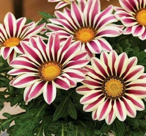 GAZANIA (Kiss Frosty White Flame) - 10 Seeds >Premium hybrid > Drought Tolerant