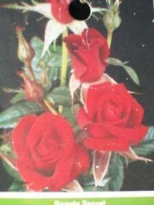 Smart /& Sassy Satin Red Rose 1 Gal Live Bush Plants Miniflora Plant Fine Roses
