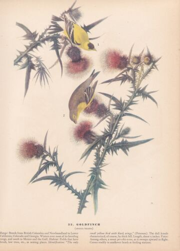 "1942 Vintage AUDUBON BIRDS #33 /""GOLDFINCH/"" Full Color Art LOVELY Lithograph"