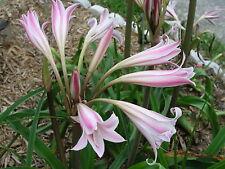 Crinum Lily, Goweni, Roger Croker Memorial, JUMBO, blooming-size bulb