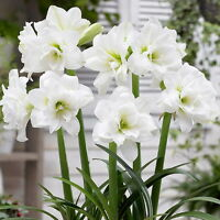 Alaska White Garden Amaryllis - 14/16 Cm Bulb - Outdoor Or House Plant