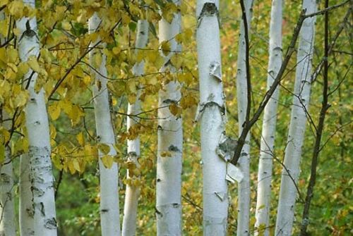Papel de bétula Sementes de árvore Betula papyrifera Rápido, Hardy, outono cor