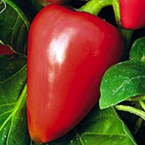 Heirloom Sweet Peppers 1 oz Pimento Pepper Seeds Mild Pepper Non-Gmo 4000ct