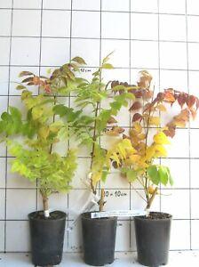 Campsis radicans Trompetenblume Stromboli 40-60cm