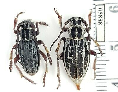 Dorcadion striolatum Cerambycidae