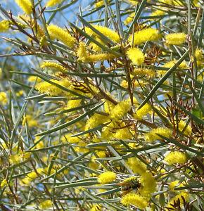 Mulga Acacia Aneura Bush Tucker 30 Seeds Ebay