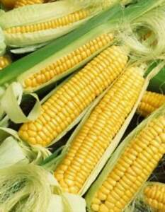 Early-Golden-Bantam-Sweet-Corn-Seeds-NON-GMO-Heirloom-FREE-SHIPPING