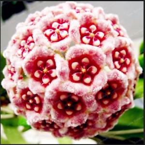 24-Couleur-Orchidee-balle-fleurs-Hoya-carnosa-100-Pcs-Graines-Plantes-Jardin-Bonsai-N