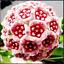 24-Couleur-Orchidee-balle-fleurs-Hoya-carnosa-100-Pcs-Graines-Plantes-Jardin-Bonsai-N miniature 1