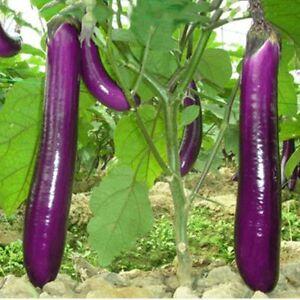 150-LONG-PURPLE-EGGPLANT-2017-all-non-gmo-heirloom-vegetable-seeds