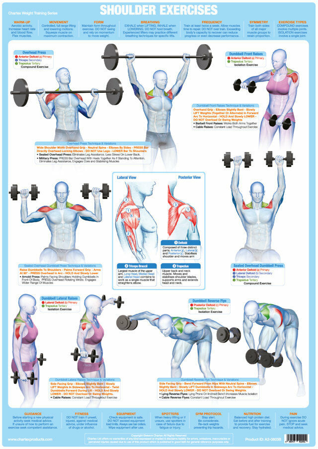 Shoulder Muscles Weight Training Charts Body Building Posters Deltoids Health