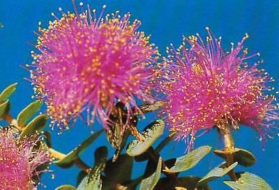 Heart-Leaf Honey Myrtle Seeds Native Evergreen Shrub Drought & Frost Tolerant