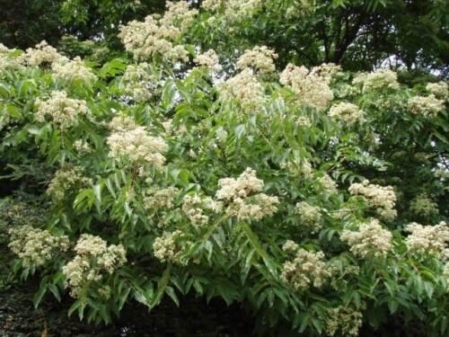 Saatgut Seeds Bienenbaum Euodia hupehensis Bee Tree 50+ Samen