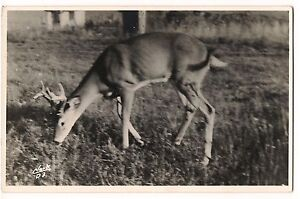 Rppc 8 Point Buck Or 4 X 4 Western Deer Clark D3 Photo Postcard Stag