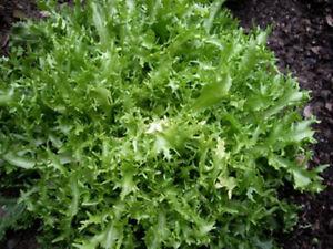 ENDIVE-150-seeds-UNUSUAL-vegetable-seeds-garden-WINTER-HARDY-SALAD-GREEN