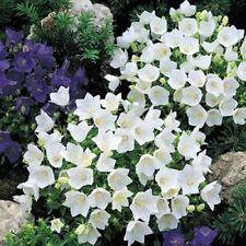 CAMPANULA 'WHITE CLIPS' ~Bellflower, Campanula Carpatica~  25+ Perennial Seeds
