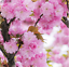 20Pcs-Sakura-Fuchsia-Double-Petals-Tree-Seeds-Rare-Pereninal-Beautiful-Garden thumbnail 2