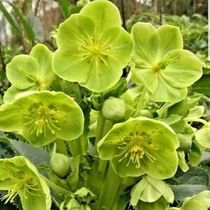 Helleborus Foetidus Stinking Hellebore Or And Viscum Album