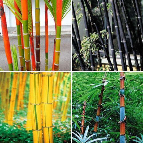 100Pcs Phyllostachys Pubescens Moso-Bamboo Seeds Garden Plants W3K3 Black T V5I8