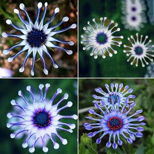 50PCS-Rare-Blue-Daisy-Plants-Flower-Seeds-Exotic-Ornamental-Flowers-Garden-Plant
