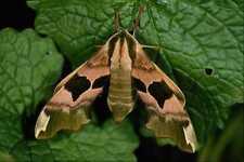 432091 Lime Hawk Moth Mimas Tiliae A4 Photo Print