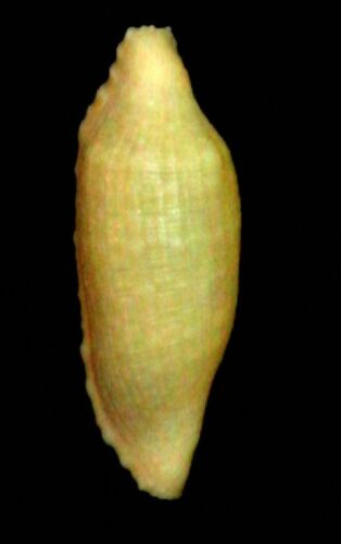 seashell Prosimnia draconis YELLOW 7-10mm Gem