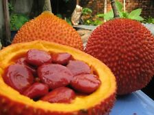 4 graines FRUIT DU PARADIS(Momordica Cochinchinensis)H867 GAC FRUIT SEEDS SAMEN