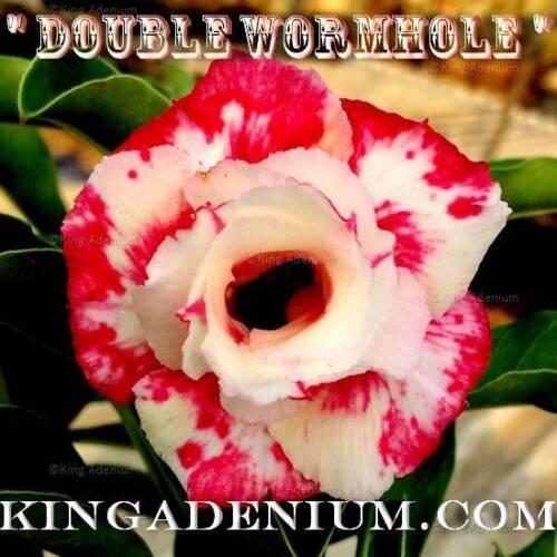 """Adenium Obesum DESERT ROSE DOUBLE /""""VORTEX/"""" 10 Graines neuf livraison gratuite"""
