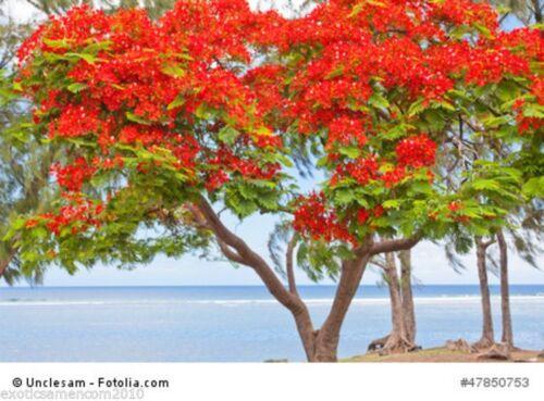 Flammenbaum Delonix regia Bonsai convient 500 graines SUPERBE FLEURS de splendeur