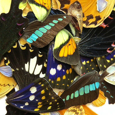 colorful lots REAL BUTTERFLY wing material  DIY artwork jewelry  #7