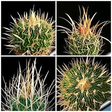 10 semi di Echinofossulocactus arrigens ,piante grasse,seeds cactus