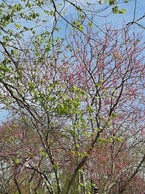 10 Seeds Cercis Canadensis Eastern Redbud Tree For Sale Online Ebay