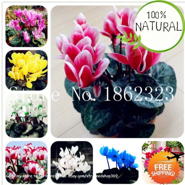 eBay & Cyclamen Flower Bonsai Seeds Plants Potted Perennial Flowering Indoor 100pcs