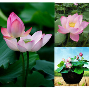 10Pcs-Bowl-Lotus-Flower-Seeds-Water-Lily-Home-Garden-Plants-Multi-Color