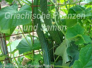 Sujo-long-chinesische-Gurke-knackige-Salat-Gurken-4-frische-Samen-Balkon