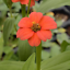 50 Zinnia Peruvian Flower Seeds Zinnia peruviana