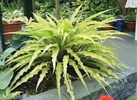 Hosta Curly Fries  good small to medium growing Hosta garden plant