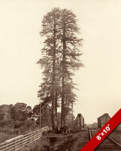 TWIN REDWOOD TREES PALO ALTO CALIFORNIA OLD PHOTO ART REAL CANVAS GICLEEPRINT